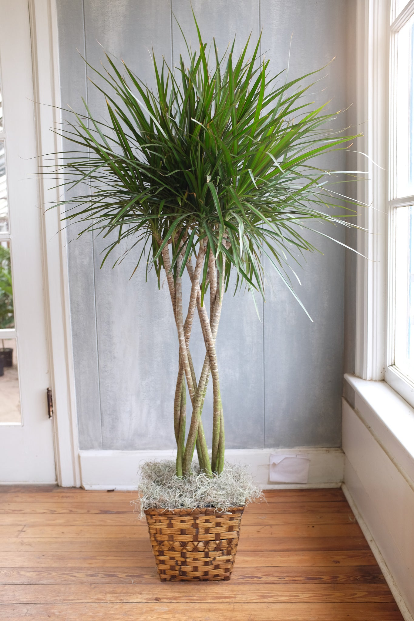 Madagascar Dragon Tree Delivered In Lexington Ky