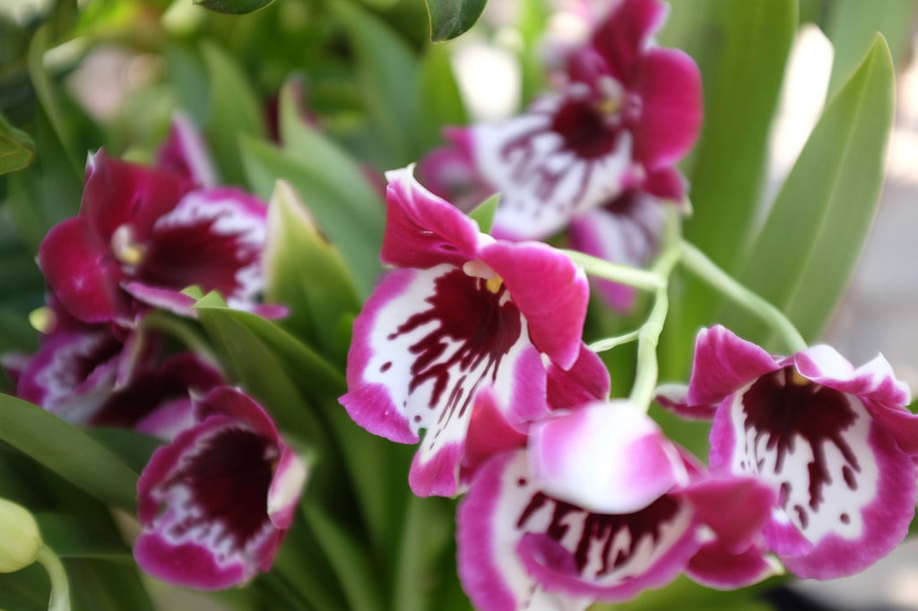 Purple Miltonia Orchid (Pansy Orchid)