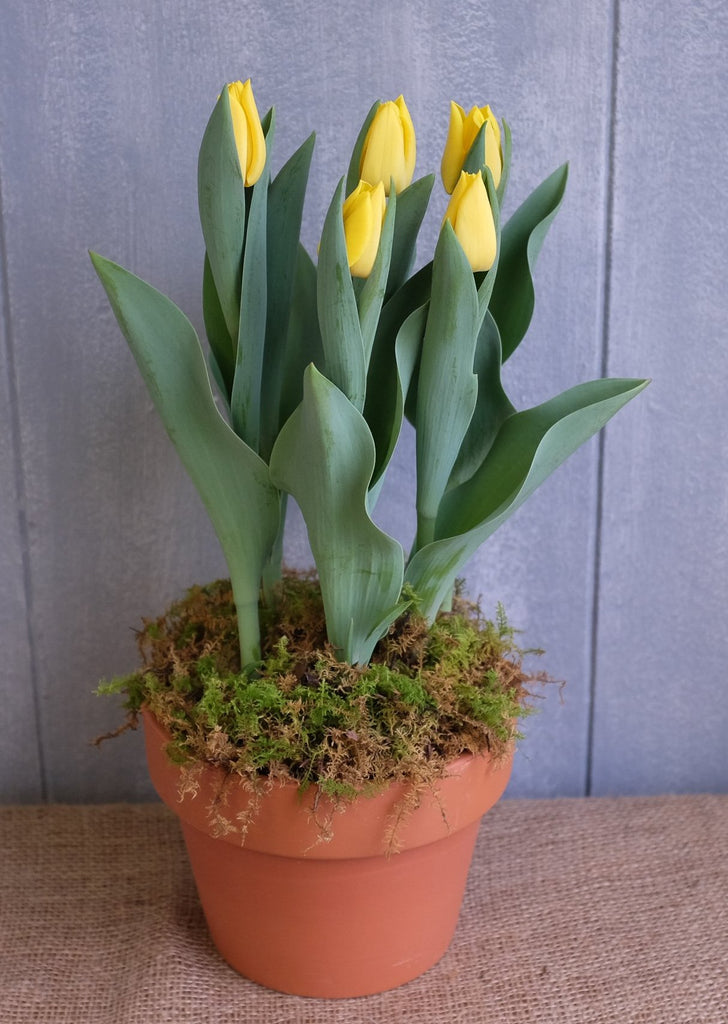 Tulips in a terracotta planter