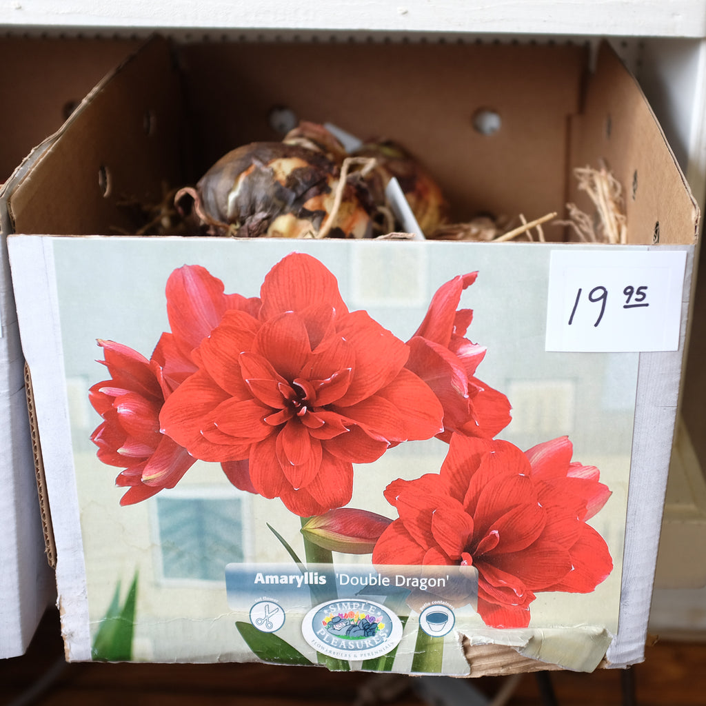 "Amaryllis ""Double Dragon"" Bulb"