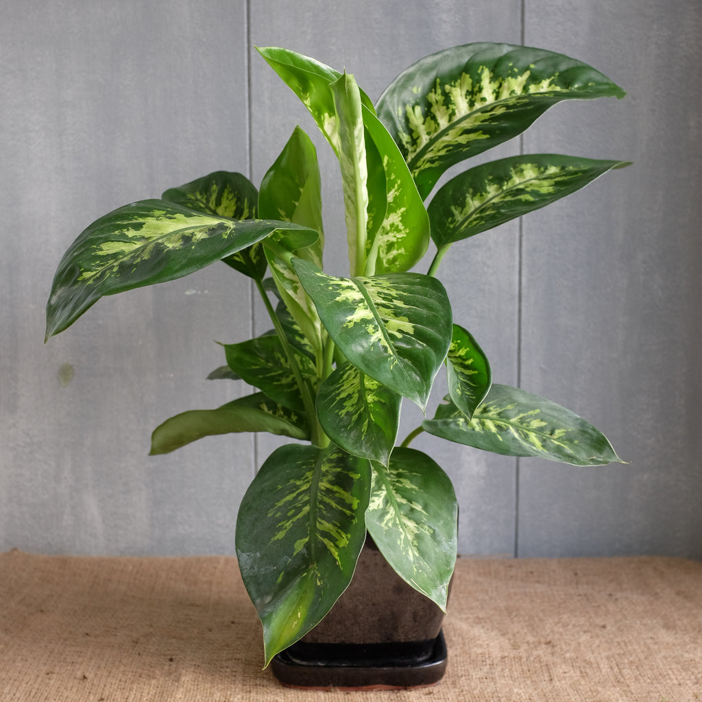 Variegated tropical foliage plant in a decorative ceramic pot
