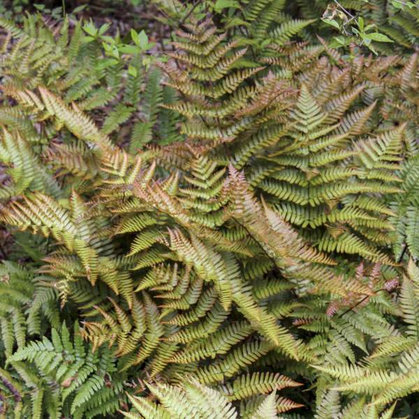 Fern - Dryopteris erythrosa 'Brilliance'  (Autumn Fern)