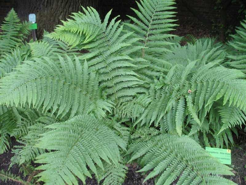 Fern - Dryopteris felix-mas  (Male Fern)