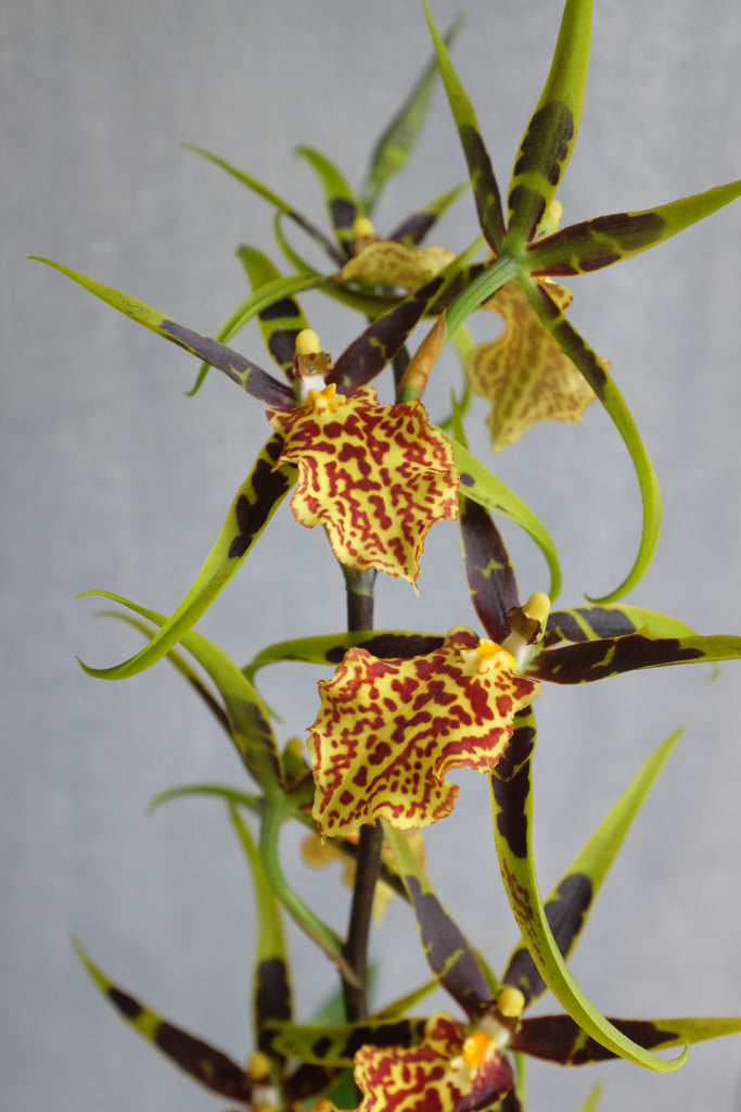 Blooming Oncidium Orchid