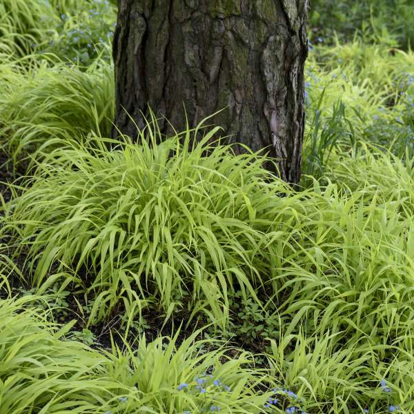 Grass - Hakonechloa macra (Japanese Forest Grass)
