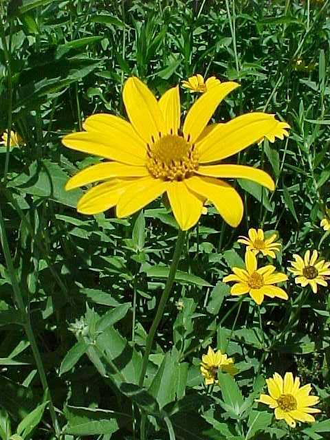 Heliopsis helianthoides 'Ox-Eye Sunflower' (False Sunflower)