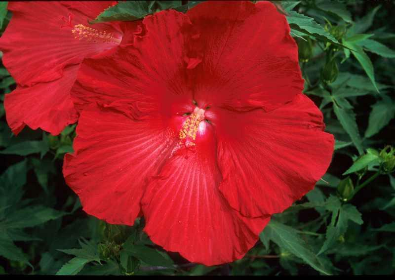 Hibiscus moscheutos 'Lord Baltimore' (Hardy Hibiscus, Common Rose Mallow)