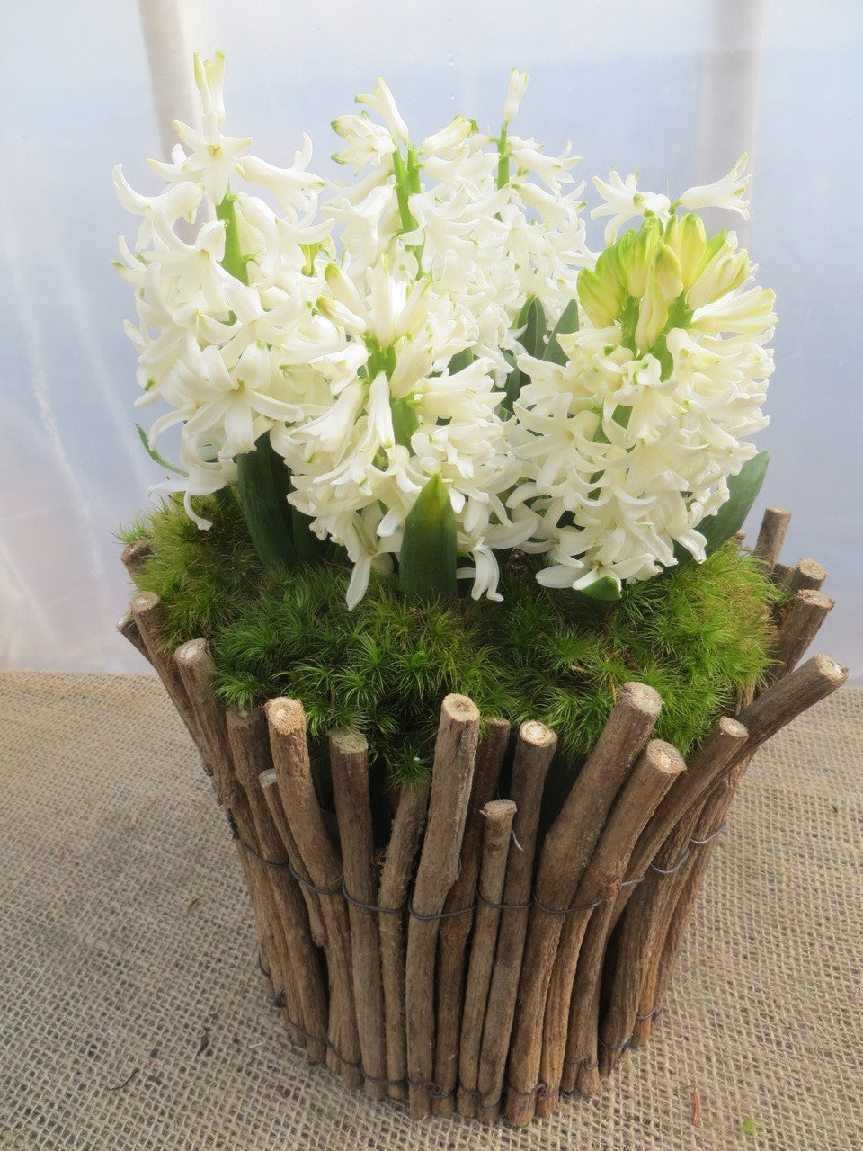 White Hyacinth with moss in Lexington, KY by Michler's Florist