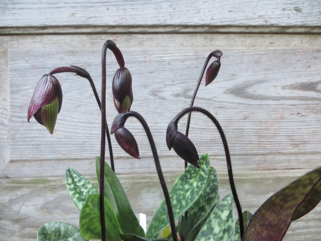 Lady Slipper Orchids (Paphiopedilum) at Michler's Florist, Greenhouses & Garden Design in Lexington, KY