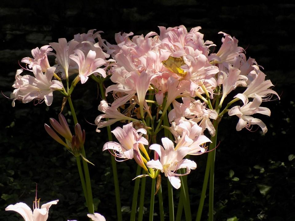 Lycoris squamigera 'Surprise Lily' (Naked Ladies)