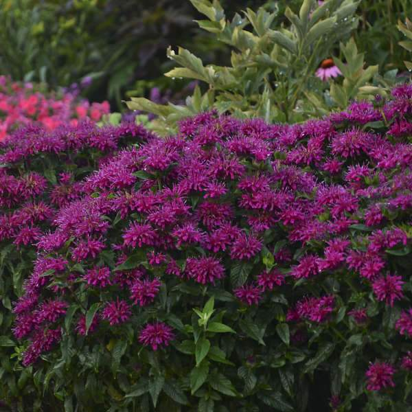 Monarda 'Grape Gumball' (Bee Balm)
