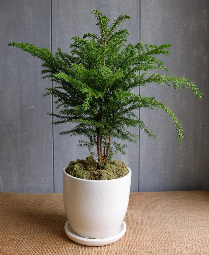 Norfolk Island Pine in glazed ceramic pot