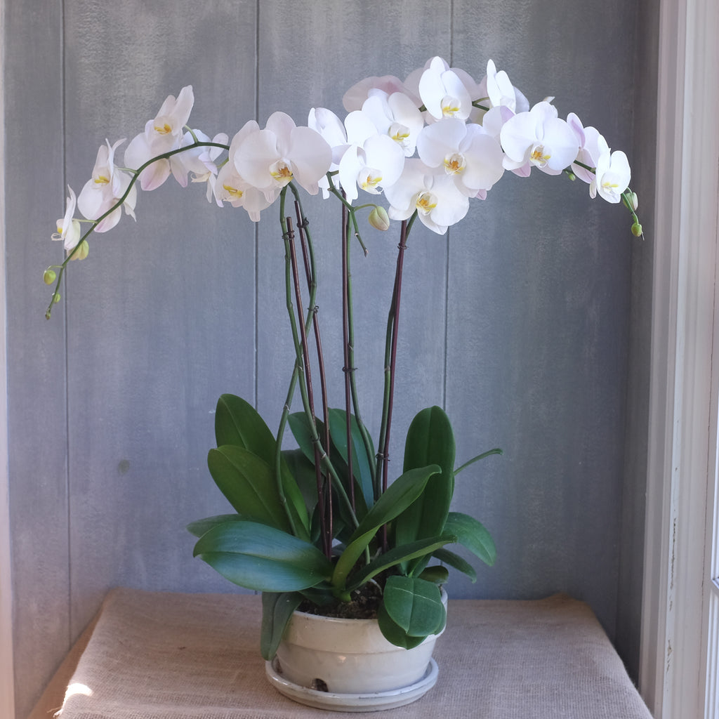 Bowl of blooming orchids.