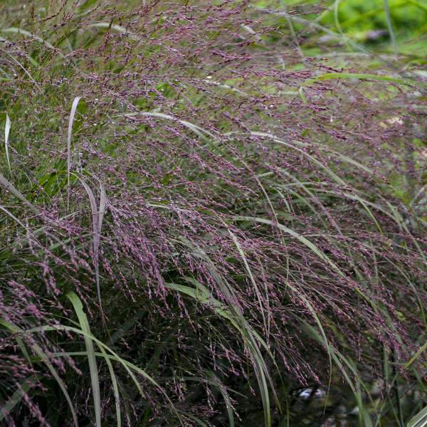 Grass - Panicum virgatum 'Apache Rose' (Switch Grass)
