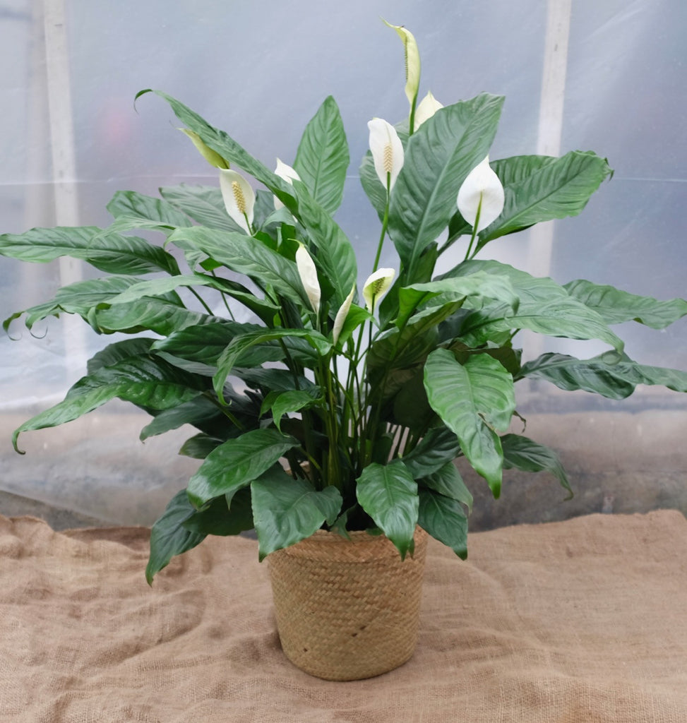Spathiphyllum (Peace Lily) in Michler's Florist, Greenhouses & Garden Design in Lexington, KY