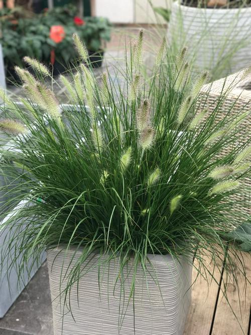Grass - Pennisetum alopecuroides (Fountain Grass) - John's selection