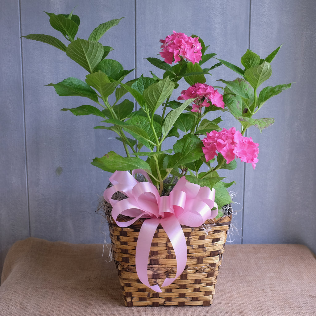 Pink blooming hydrangea shrub in a basket.