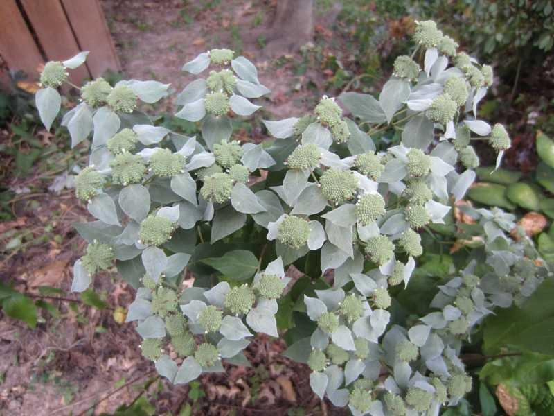 Pycnanthemum muticum (Mountain Mint)