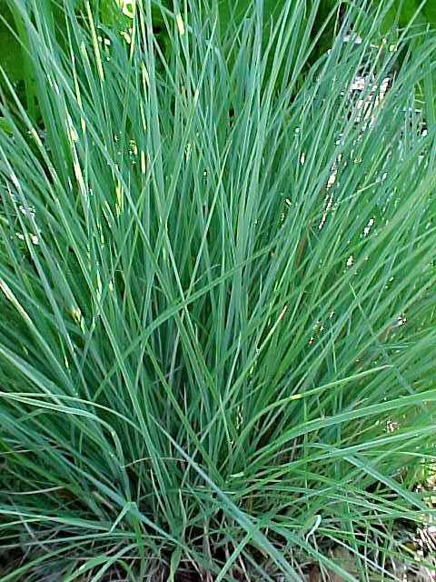 Grass-Schizachyrium scoparium 'The Blues' (Little Bluestem)