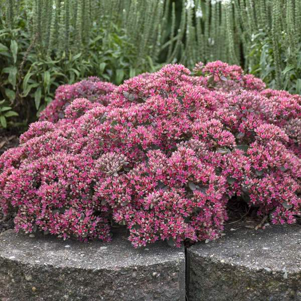 Sedum 'Pop Star' (Stonecrop)