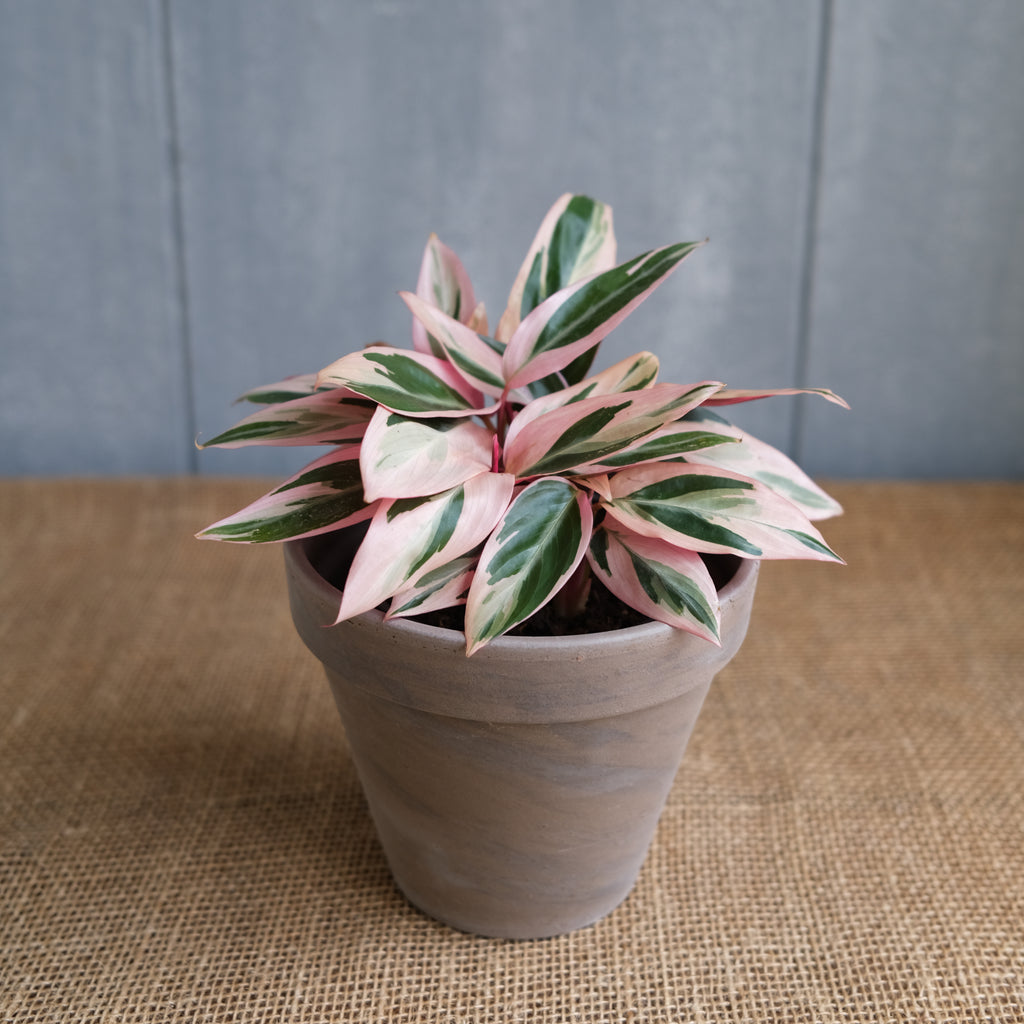 tricolor prayer plant with deep green and pastel pink leaves at Michler's