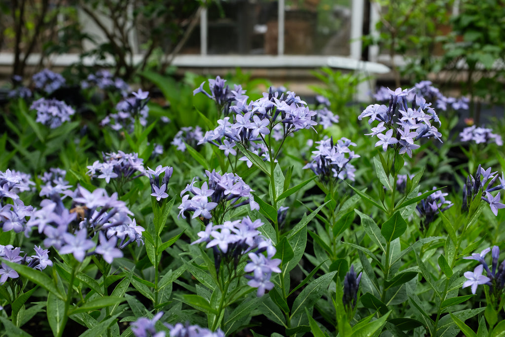 Amsonia 'Blue Ice' (Blue Star)