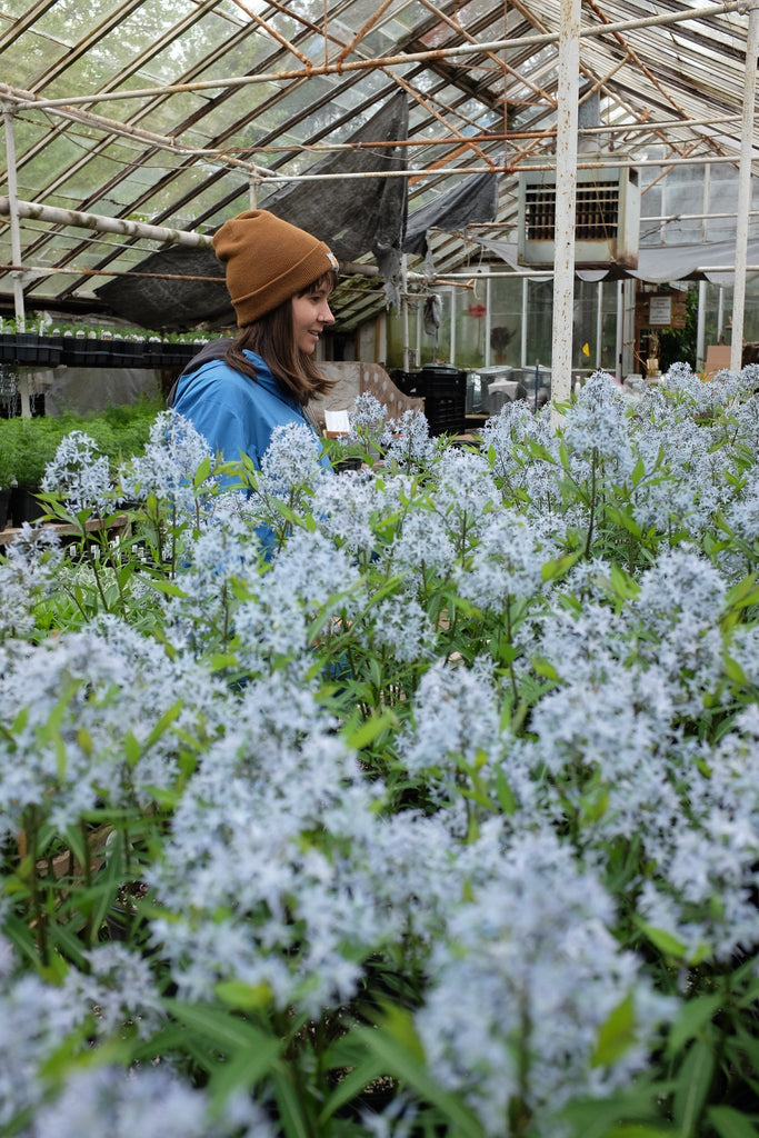 Amsonia tabernaemontana 'Storm Cloud' (Blue Star)