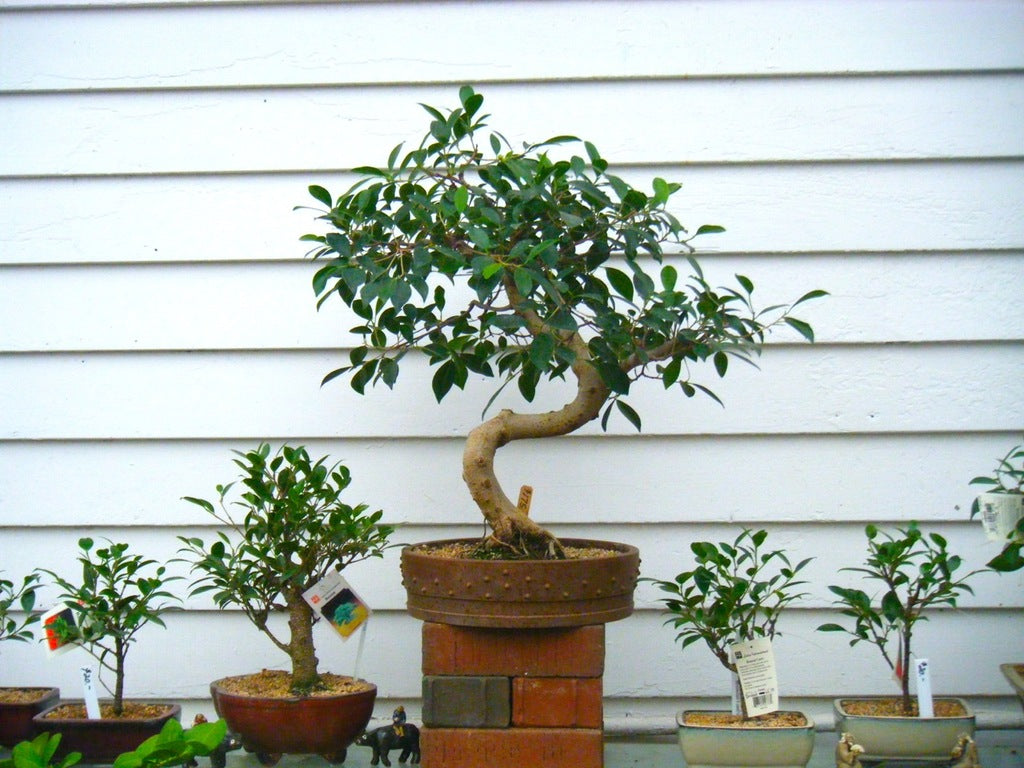 Ficus Bonsai at Michler's Florist, Greenhouses & Garden Design