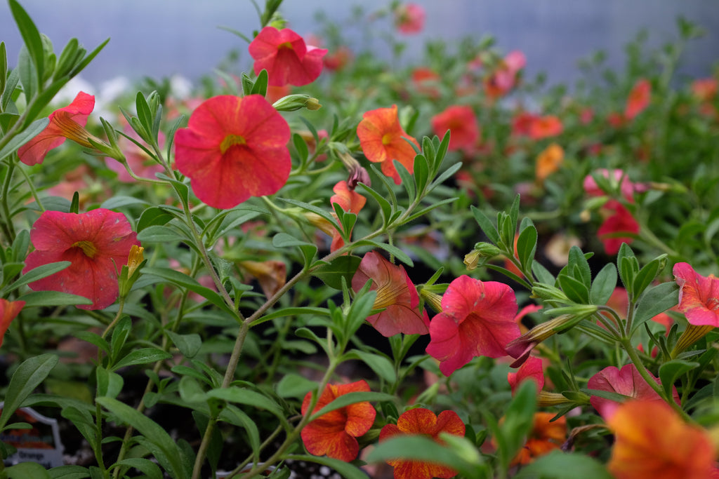 Calibrachoa 'Callie Orange Sunrise Improved'
