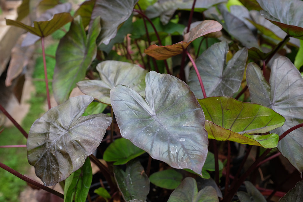 Colocasia esculenta (Elephant Ears)
