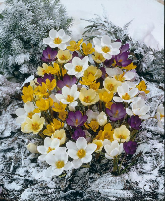 Crocus speciosus - Snow Crocus Mix