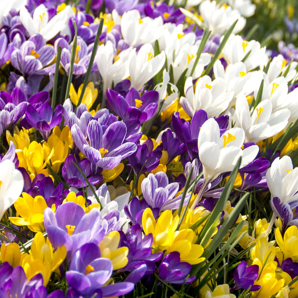 Crocus vernus - Giant Crocus Mix