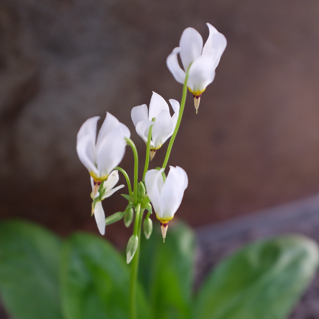 Dodecatheon meadia 'Album' (Shooting Star)