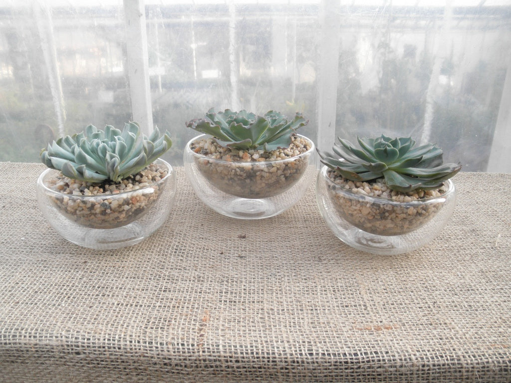 Three succulents arranged in glass containers