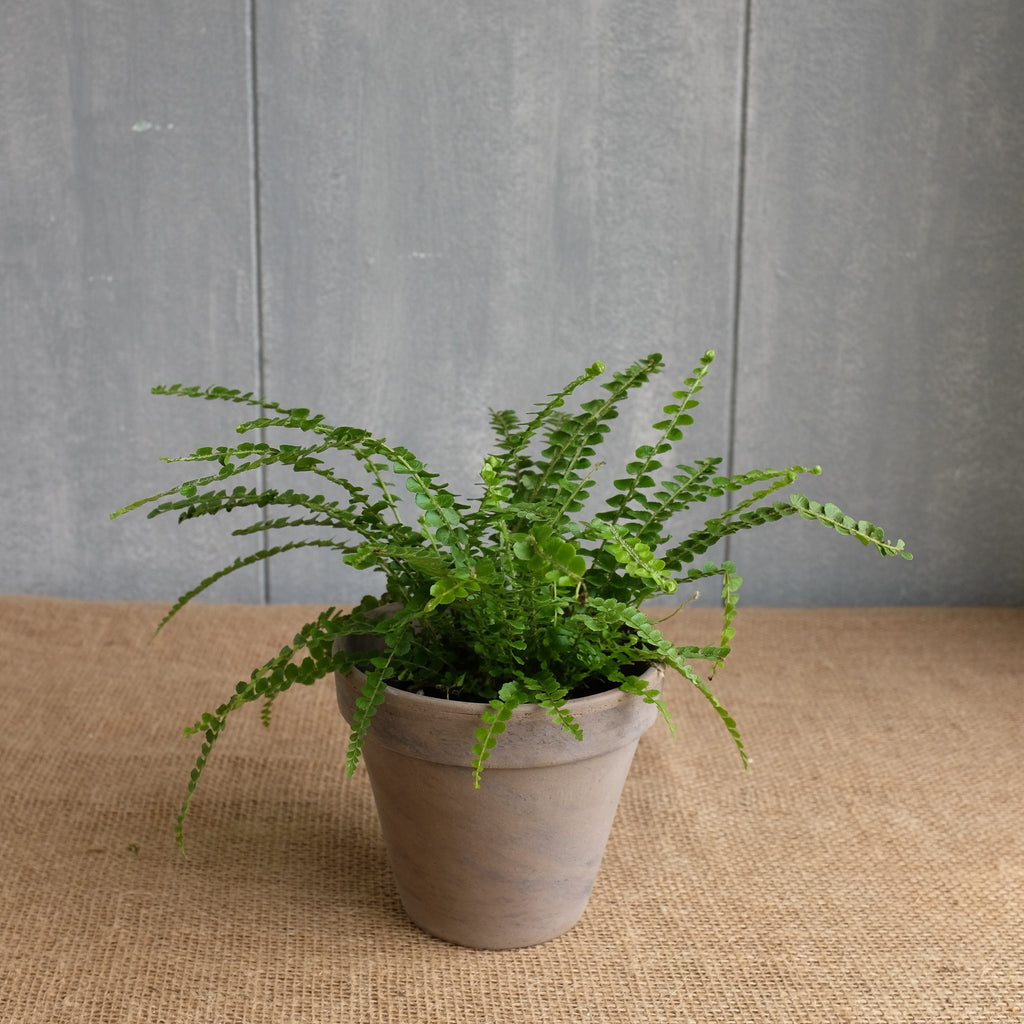 Lemon Button Fern - Nephrolepis cordifolia