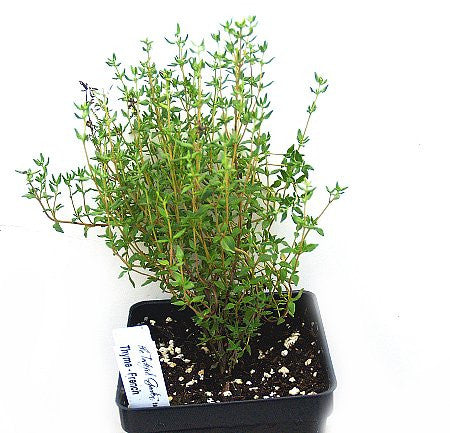 Thymus vulgaris 'French' (French thyme)