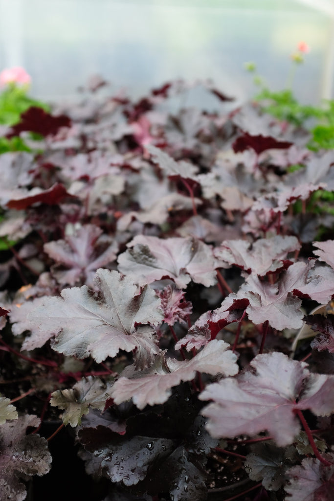 Heuchera 'Black Pearl'(Coral Bells)