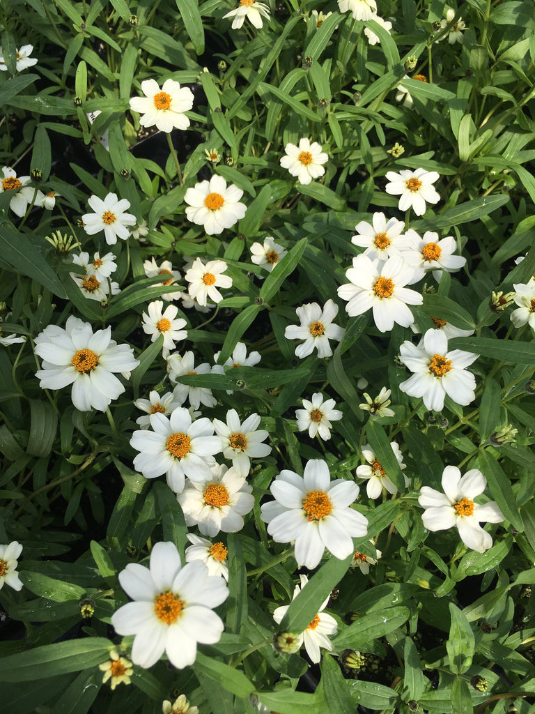 Zinnia angustifolia 'Crystal White'