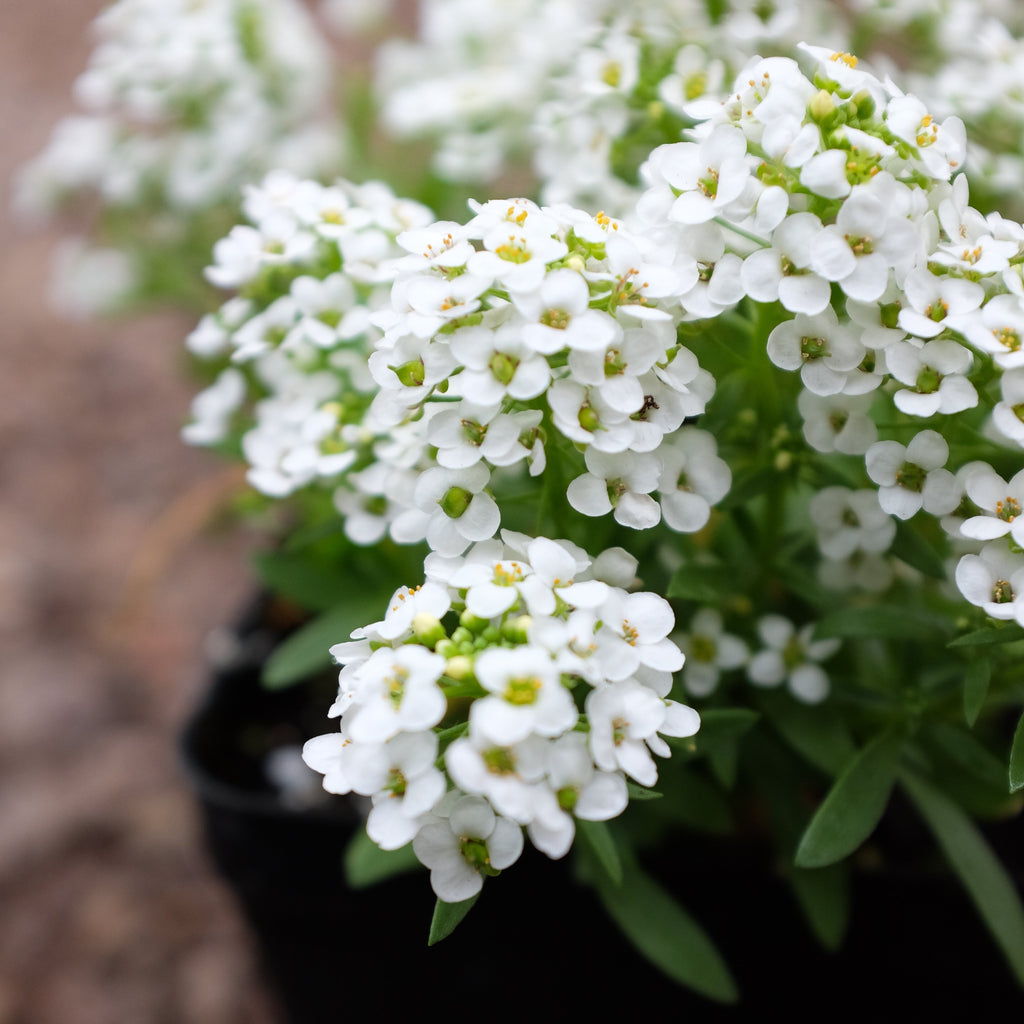 Sweet Alyssum - Lobularia 'Easter Bonnet White'