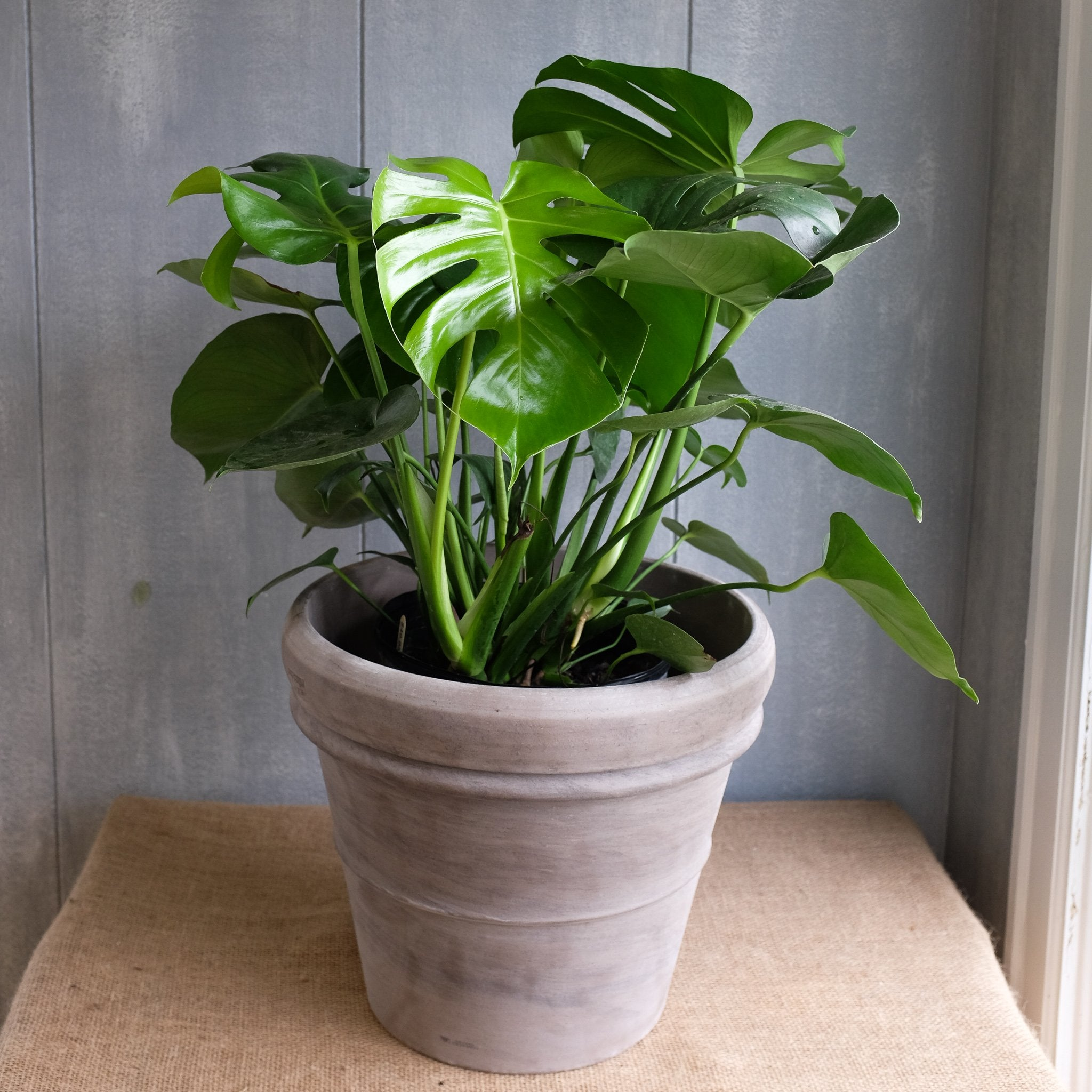Monstera Deliciosa L Swiss Cheese Plant L Michler S L Lexington Ky,How To Make Mexican Rice In Rice Cooker