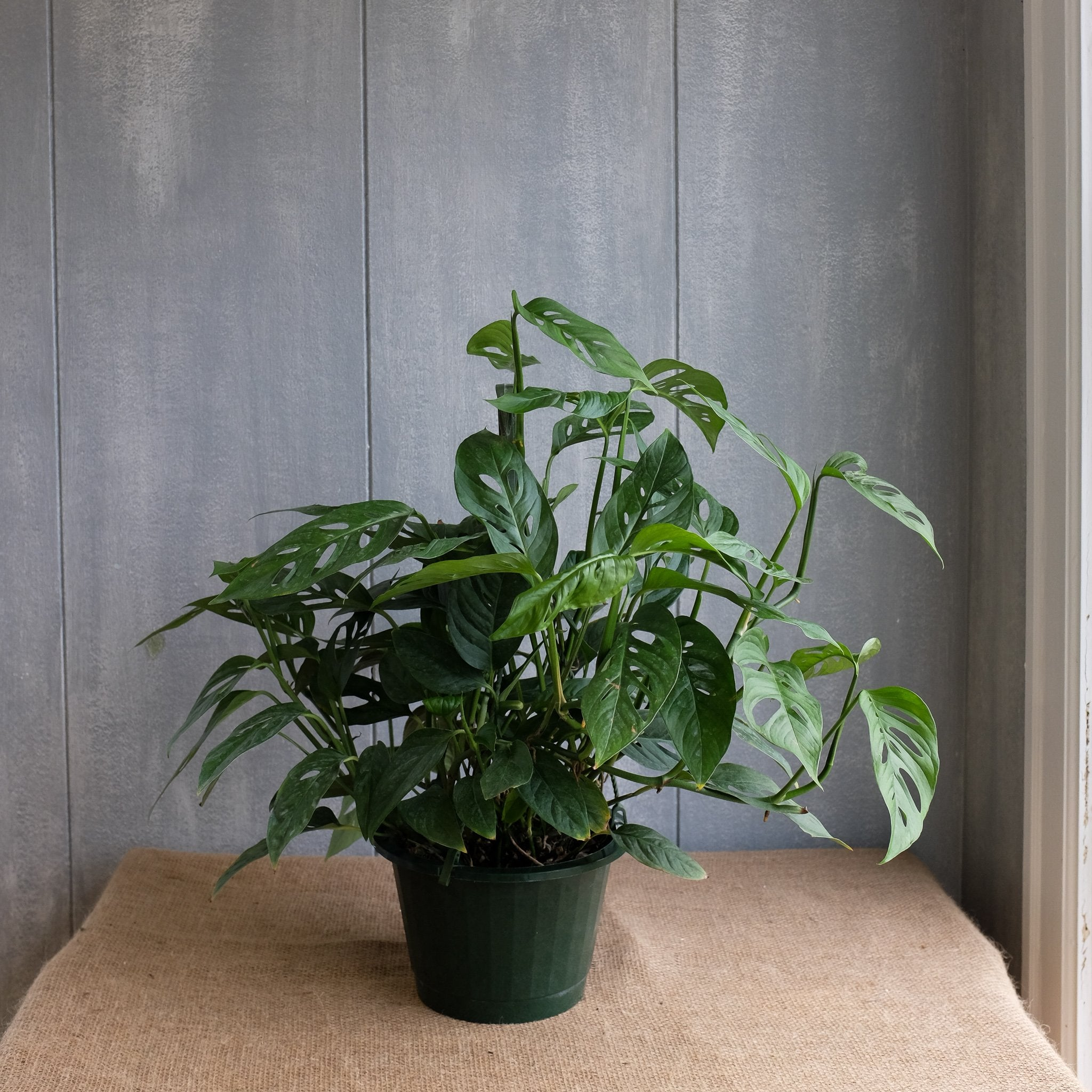 Monstera Adansonii L Swiss Cheese Vine L Michler S L Lexington Ky,How To Make Mexican Rice In Rice Cooker