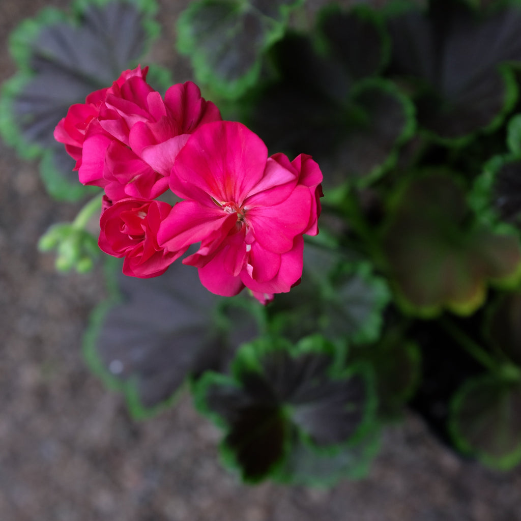 Geranium - Pelargonium 'Brocade Cherry Night'