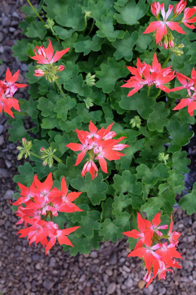 Geranium - Pelargonium 'Fireworks Collection Red-White'
