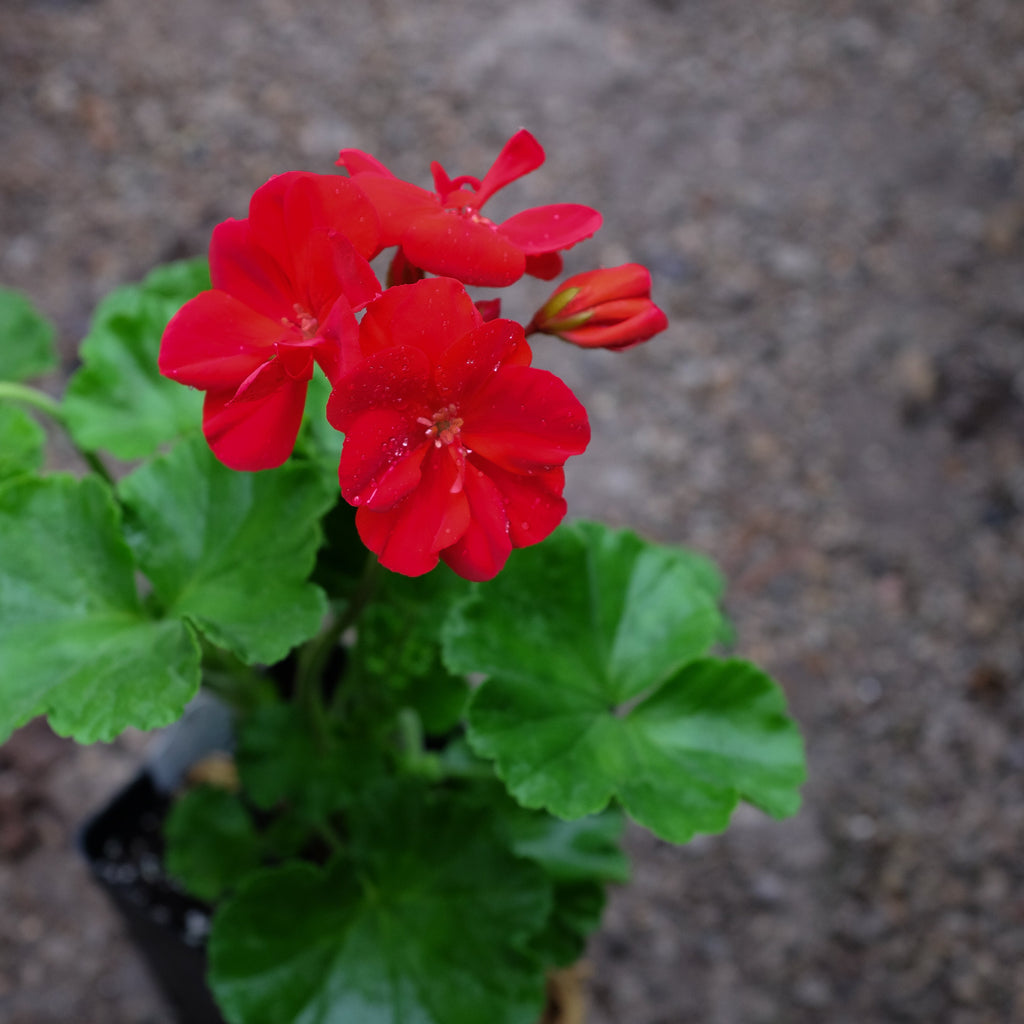 Geranium - Pelargonium 'Patriot Bright Red'