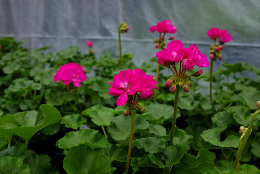 Geranium - Pelargonium 'Patriot Rose Pink'