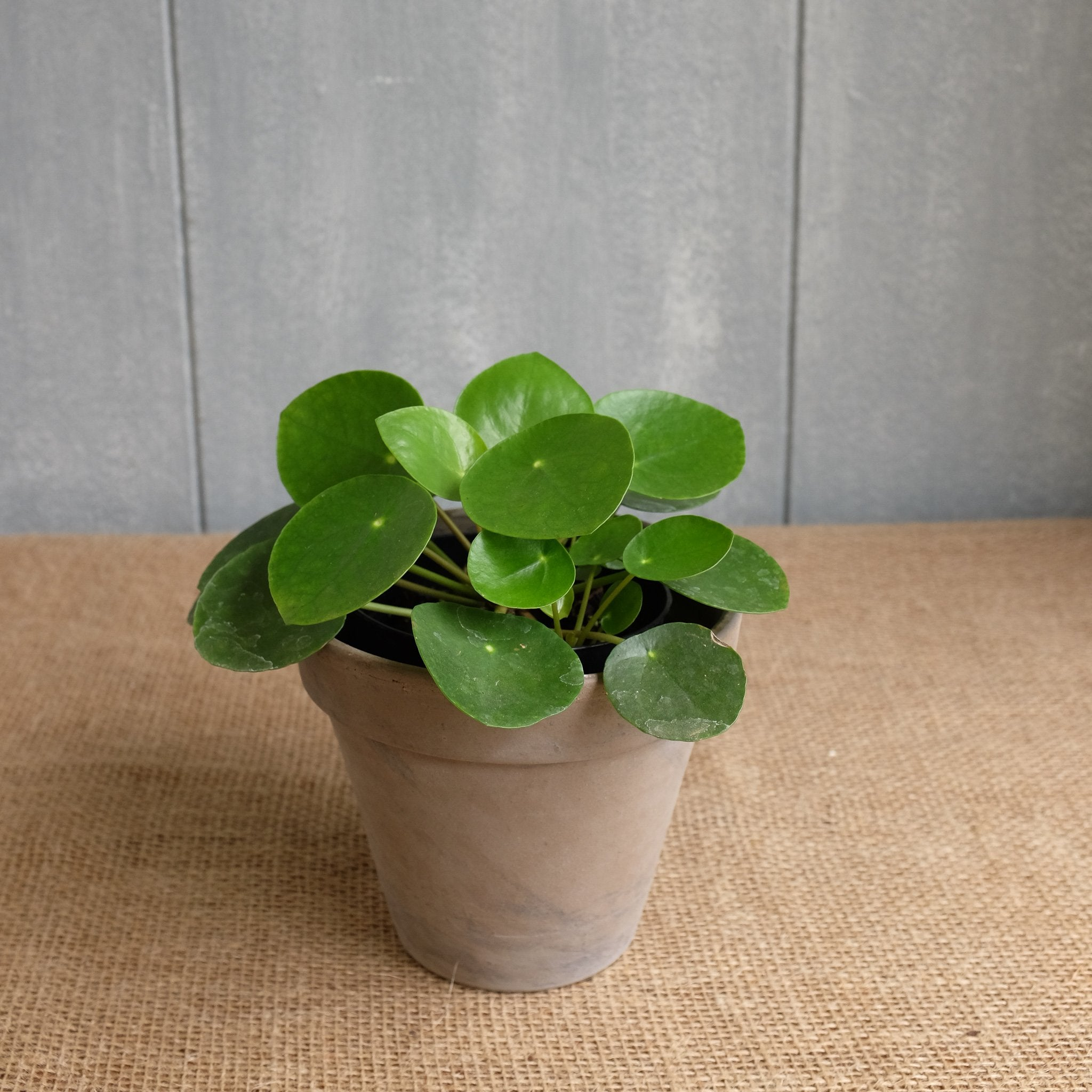 pilea peperomioides l chinese money plant l michler s l lexington ky michler s florist