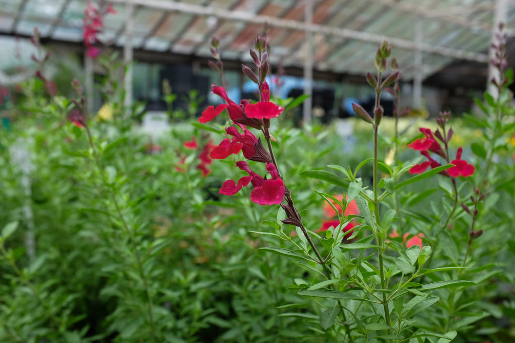 Salvia 'Furman's Red'