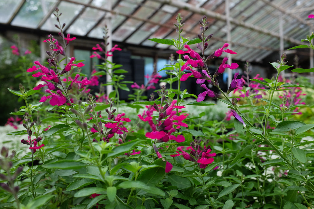 Salvia 'Raspberry Royale'
