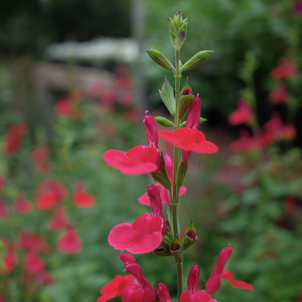 Salvia 'Hot Lips'