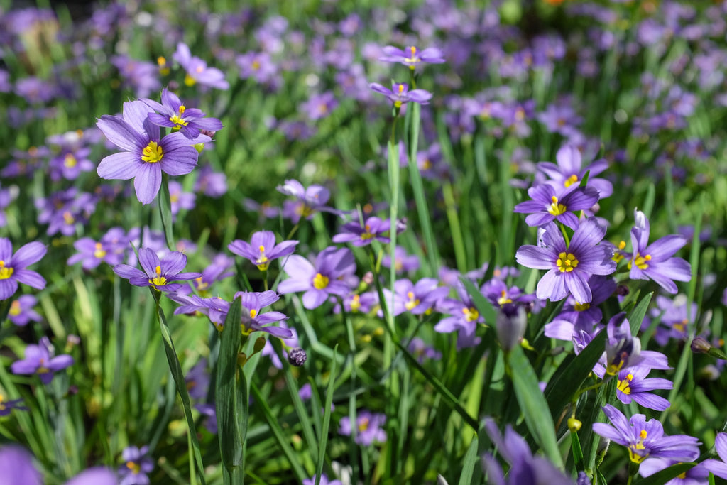 Sisyrinchium bermudianum 'Lucerne' (Blue-Eyed Grass)